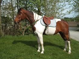 hest til salgs