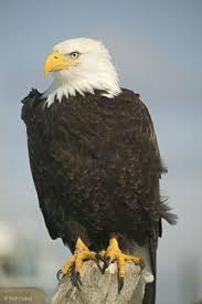 a picture of an eagle