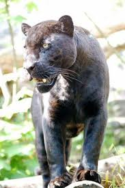 jaguar animal cat