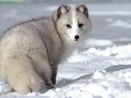 arctic fox animal