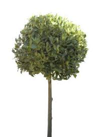 bay leaf trees