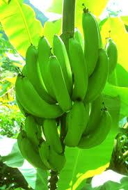 rainforest bananas