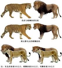 lion and tiger pictures