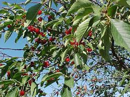 cherry tree types