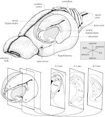 rat brain diagram