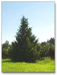 evergreen tree pictures