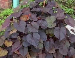 potato vine plants