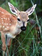 endangered deers