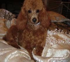 red poodles