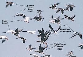 geese species