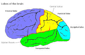brain lobes diagram