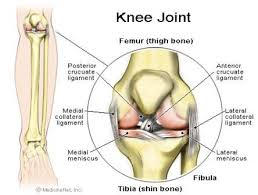 knee joint muscle
