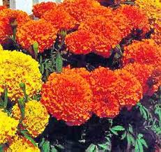 marigolds plants