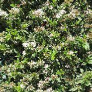 shrubs hedges