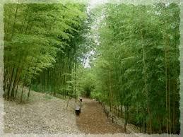 phyllostachys bambusoides castillon