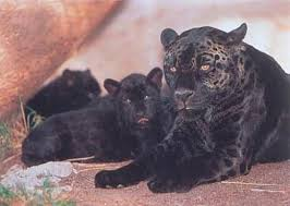black puma cat