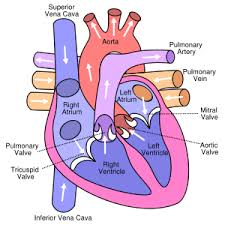 labeled picture of the human heart