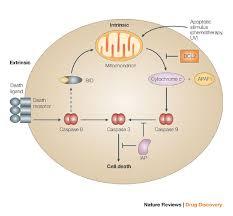 caspase 3 pathway