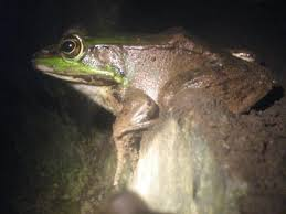 big frog pictures