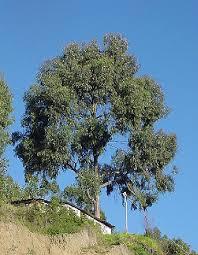 picture of eucalyptus tree