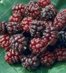 mulberry tree fruit