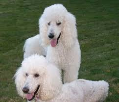french poodle wallpaper