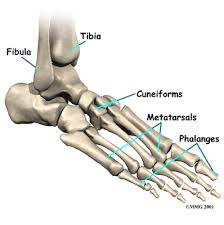 anatomy of the foot bones