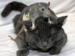 coco de rato
