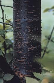 bark color