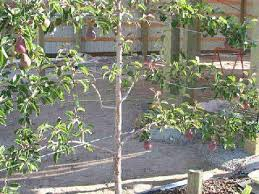 espalier pear trees