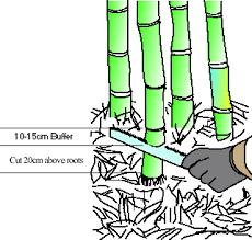 cutting bamboo
