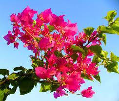 iraq flower
