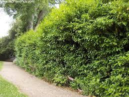 planting hedge