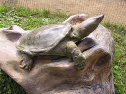 asian soft shell turtle