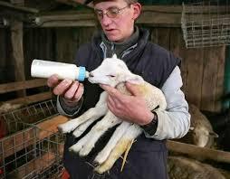 lamb photos