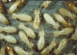 images of termites