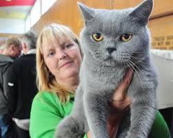 british blue cats pictures