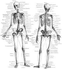 human skeleton picture