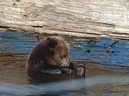 brown bears food