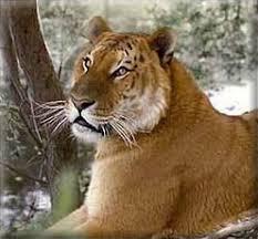 li ligers
