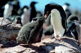 penguins feeding