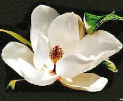 magnolias flowers