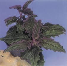 purple passion vine