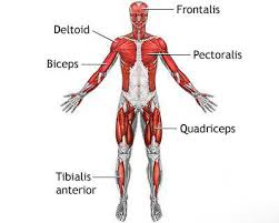 muscle system for kids