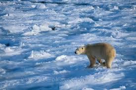 flora y fauna de la tundra