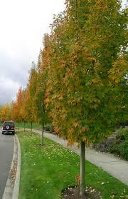 maple cultivars
