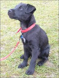 patterdale dog