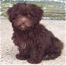 lhasapoo breeders