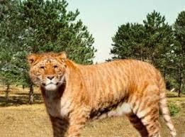 jaguar lion
