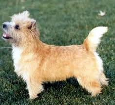 cairn terriers dog
